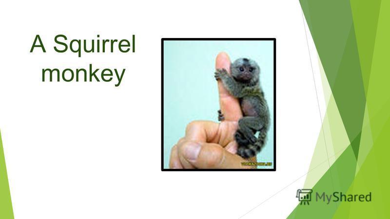 A Squirrel monkey