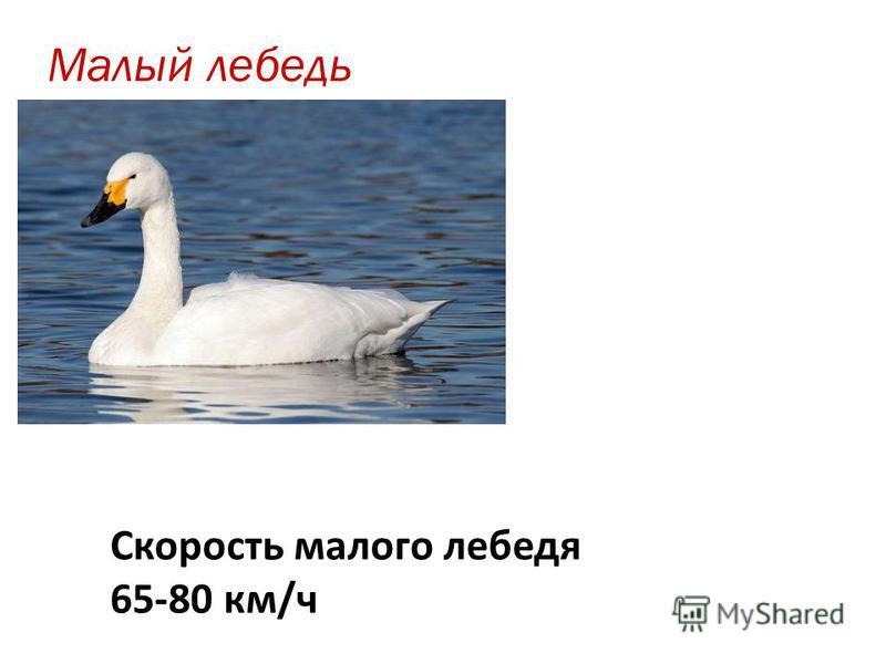 Малый лебедь Скорость малого лебедя 65-80 км/ч
