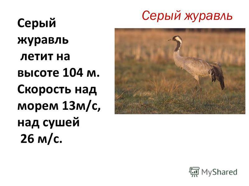 Серый журавль летит на высоте 104 м. Скорость над морем 13 м/с, над сушей 26 м/с.