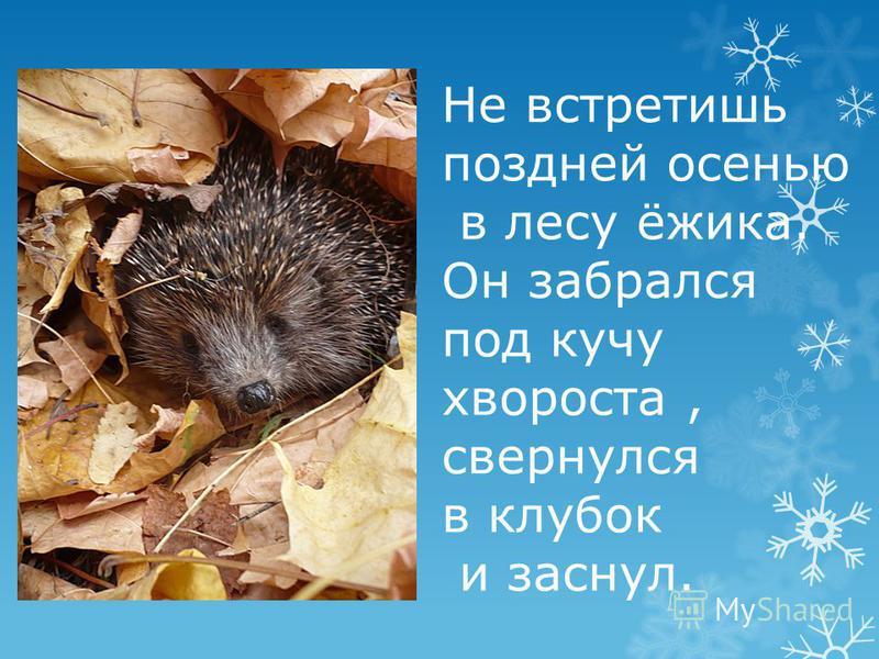 Не встретишь поздней осенью в лесу ёжика. Он забрался под кучу хвороста, свернулся в клубок и заснул.