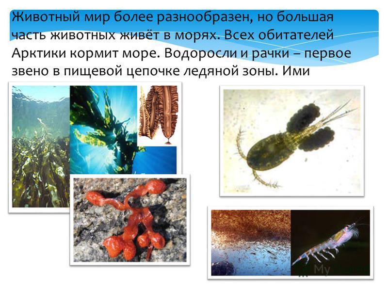 Животный мир более разнообразен, но большая часть животных живёт в морях. Всех обитателей Арктики кормит море. Водоросли и рачки – первое звено в пищевой цепочке ледяной зоны. Ими кормятся рыбы.