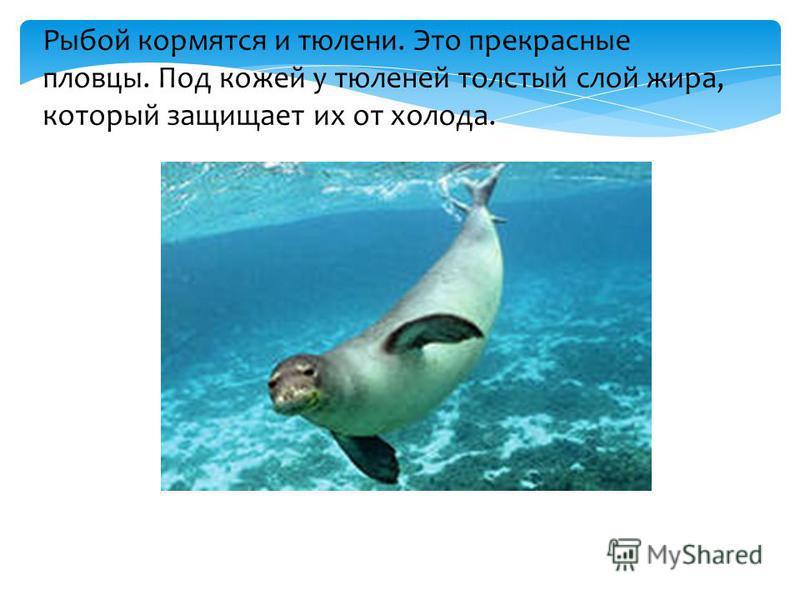 Рыбой кормятся и тюлени. Это прекрасные пловцы. Под кожей у тюленей толстый слой жира, который защищает их от холода.