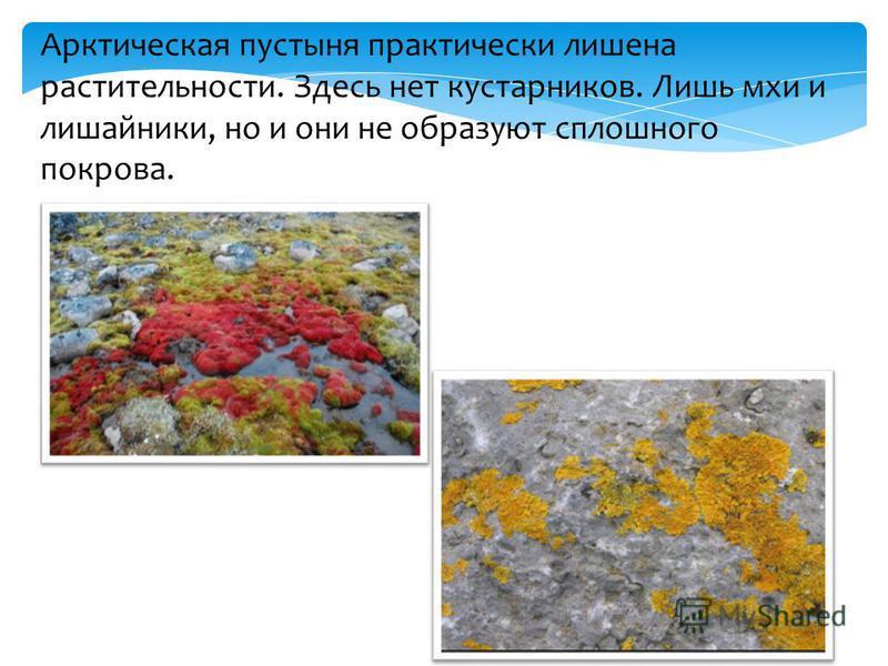 Арктическая пустыня практически лишена растительности. Здесь нет кустарников. Лишь мхи и лишайники, но и они не образуют сплошного покрова.
