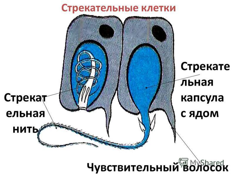 Стрекательные клетки Чувствительный волосок Стрекате льная капсула с ядом Стрекат ельная нить