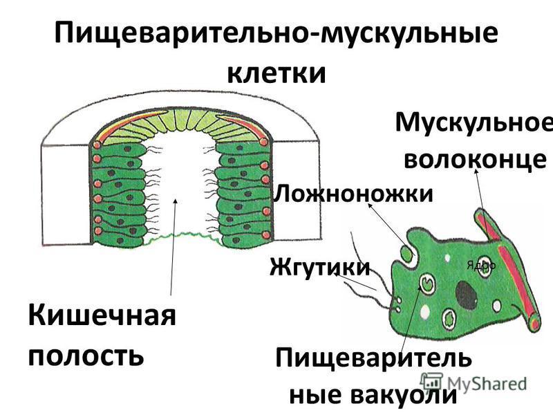 Пищеварительно-мускульные клетки Кишечная полость Жгутики Ложноножки Пищеваритель ные вакуоли Мускульное волоконце Ядро