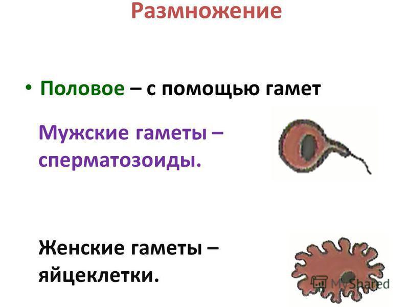 Размножение Половое – с помощью гамет Мужские гаметы – сперматозоиды. Женские гаметы – яйцеклетки.