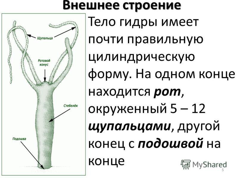 5 Внешнее строение Тело гидры имеет почти правильную цилиндрическую форму. На одном конце находится рот, окруженный 5 – 12 щупальцами, другой конец с подошвой на конце