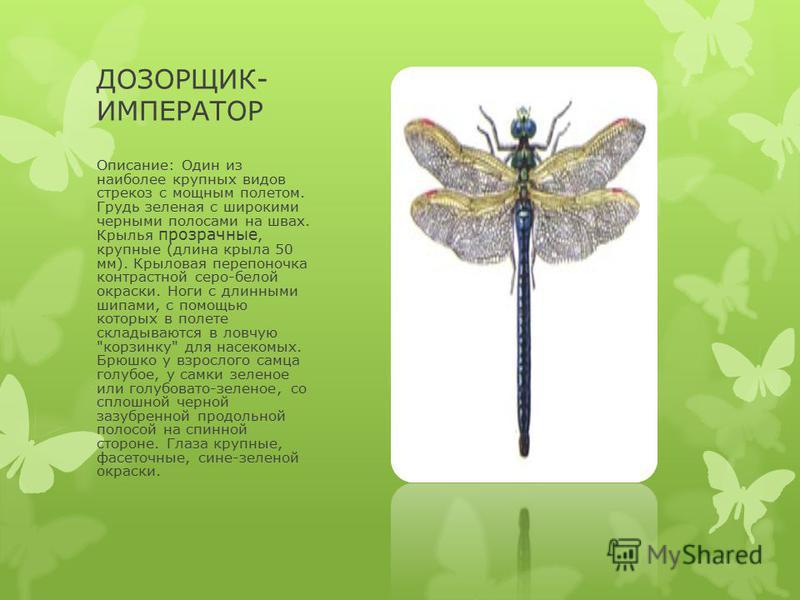 ДОЗОРЩИК- ИМПЕРАТОР Описание: Один из наиболее крупных видов стрекоз с мощным полетом. Грудь зеленая с широкими черными полосами на швах. Крылья прозрачные, крупные (длина крыла 50 мм). Крыловая перепоночка контрастной серо-белой окраски. Ноги с длин