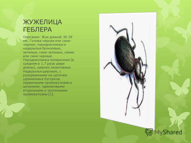 ЖУЖЕЛИЦА ГЕБЛЕРА Описание: Жук длиной 30-39 мм. Голова черная или сине- черная; переднеспинка и надкрылья бронзовые, зеленые, сине-зеленые, синие или сине-черные. Переднеспинка поперечная (в среднем в 1.7 раза шире длины), широко окантована. Надкрыль