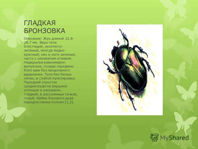 ГЛАДКАЯ БРОНЗОВКА Описание: Жук длиной 22.8- 28.7 мм. Верх тела блестящий, золотисто- зеленый, иногда медно- красный; низ и ноги зеленые, часто с синеватым отливом. Надкрылья равномерно- выпуклые, позади середины близ шва без продольного вдавления. Т