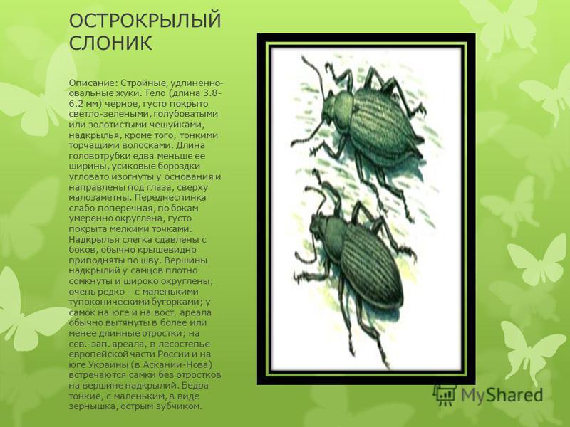 ОСТРОКРЫЛЫЙ СЛОНИК Описание: Стройные, удлиненно- овальные жуки. Тело (длина 3.8- 6.2 мм) черное, густо покрыто светло-зелеными, голубоватыми или золотистыми чешуйками, надкрылья, кроме того, тонкими торчащими волосками. Длина головой трубки едва мен