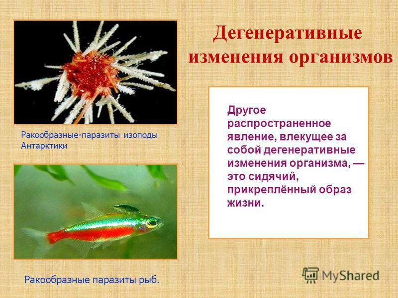 Другое распространенное явление, влекущее за собой дегенеративные изменения организма, это сидячий, прикреплённый образ жизни. Ракообразные-паразиты изоподы Антарктики Ракообразные паразиты рыб. Дегенеративные изменения организмов