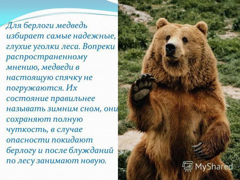 Для берлоги медведь избирает самые надежные, глухие уголки леса. Вопреки распространенному мнению, медведи в настоящую спячку не погружаются. Их состояние правильнее называть зимним сном, они сохраняют полную чуткость, в случае опасности покидают бер