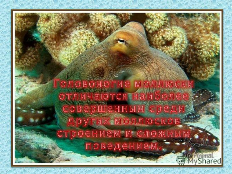 Использование человеком Головоногих моллюсков 1. Употребление в пищу. 2. Вырабатывание из чернильного мешка каракатиц акварельную краску сепию.