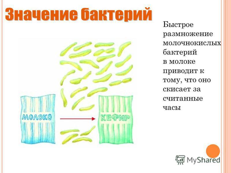 Быстрое размножение молочнокислых бактерий в молоке приводит к тому, что оно скисает за считанные часы