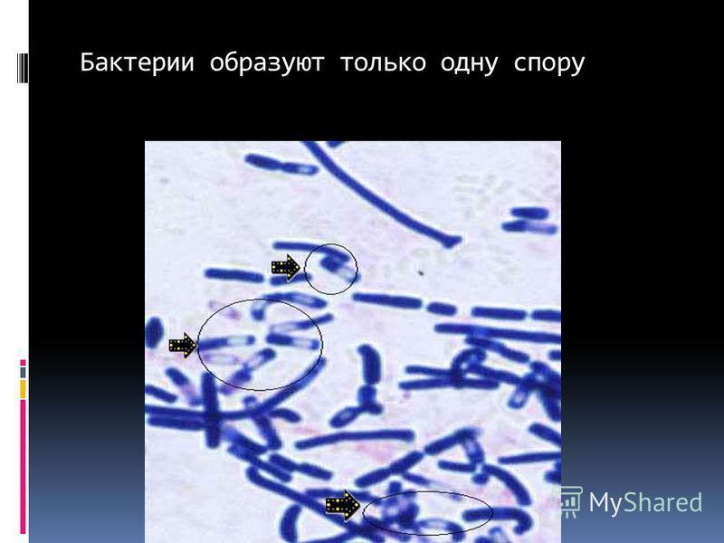 Бактерии образуют только одну спору