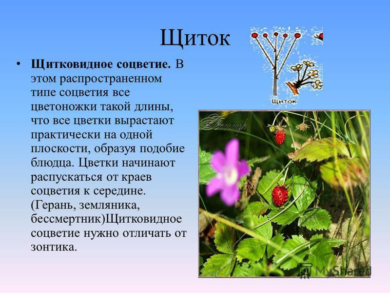 Щиток Щитковидное соцветие. В этом распространенном типе соцветия все цветоножки такой длины, что все цветки вырастают практически на одной плоскости, образуя подобие блюдца. Цветки начинают распускаться от краев соцветия к середине. (Герань, земляни
