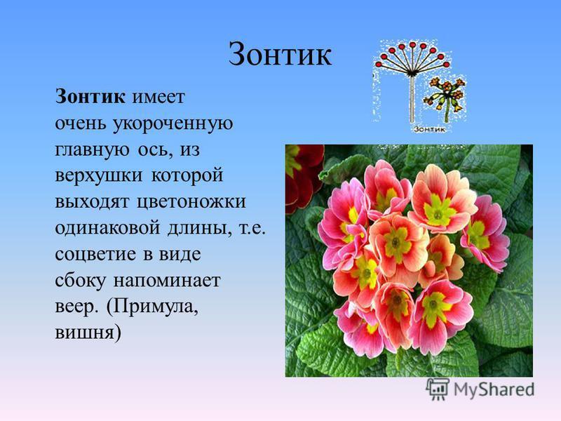 Зонтик Зонтик имеет очень укороченную главную ось, из верхушки которой выходят цветоножки одинаковой длины, т.е. соцветие в виде сбоку напоминает веер. (Примула, вишня)
