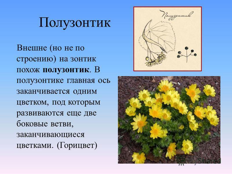 Полузонтик Внешне (но не по строению) на зонтик похож полузонтик. В полузонтике главная ось заканчивается одним цветком, под которым развиваются еще две боковые ветви, заканчивающиеся цветками. (Горицвет)