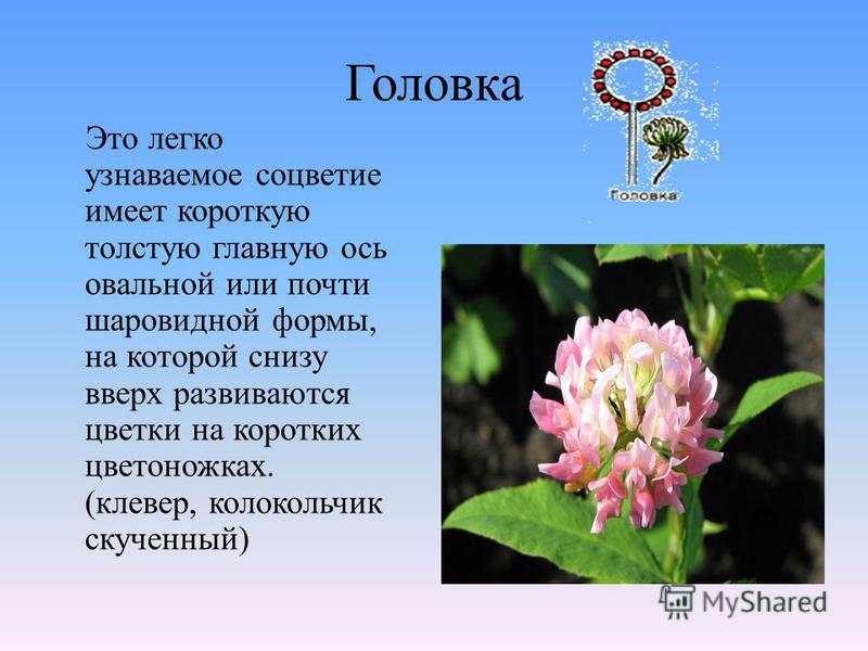 Головка Это легко узнаваемое соцветие имеет короткую толстую главную ось овальной или почти шаровидной формы, на которой снизу вверх развиваются цветки на коротких цветоножках. (клевер, колокольчик скученный)
