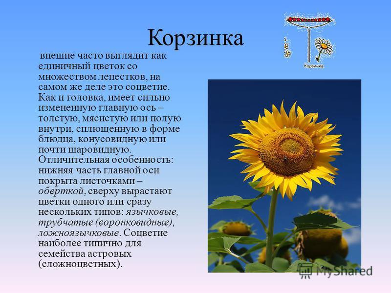 Корзинка внешне часто выглядит как единичный цветок со множеством лепестков, на самом же деле это соцветие. Как и головка, имеет сильно измененную главную ось – толстую, мясистую или полую внутри, сплющенную в форме блюдца, конусовидную или почти шар