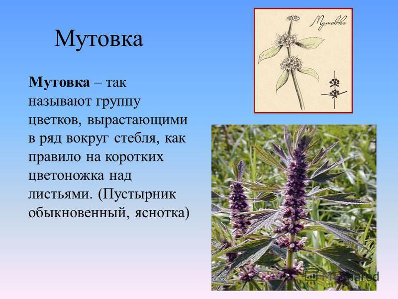 Мутовка Мутовка – так называют группу цветков, вырастающими в ряд вокруг стебля, как правило на коротких цветоножка над листьями. (Пустырник обыкновенный, яснотка)