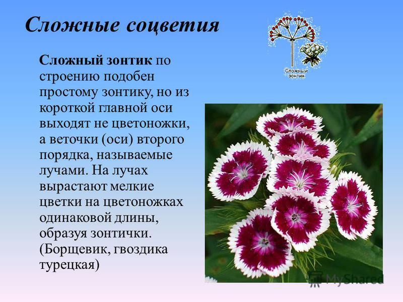 Сложные соцветия Сложный зонтик по строению подобен простому зонтику, но из короткой главной оси выходят не цветоножки, а веточки (оси) второго порядка, называемые лучами. На лучах вырастают мелкие цветки на цветоножках одинаковой длины, образуя зонт