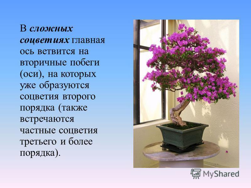 В сложных соцветиях главная ось ветвится на вторичные побеги (оси), на которых уже образуются соцветия второго порядка (также встречаются частные соцветия третьего и более порядка).