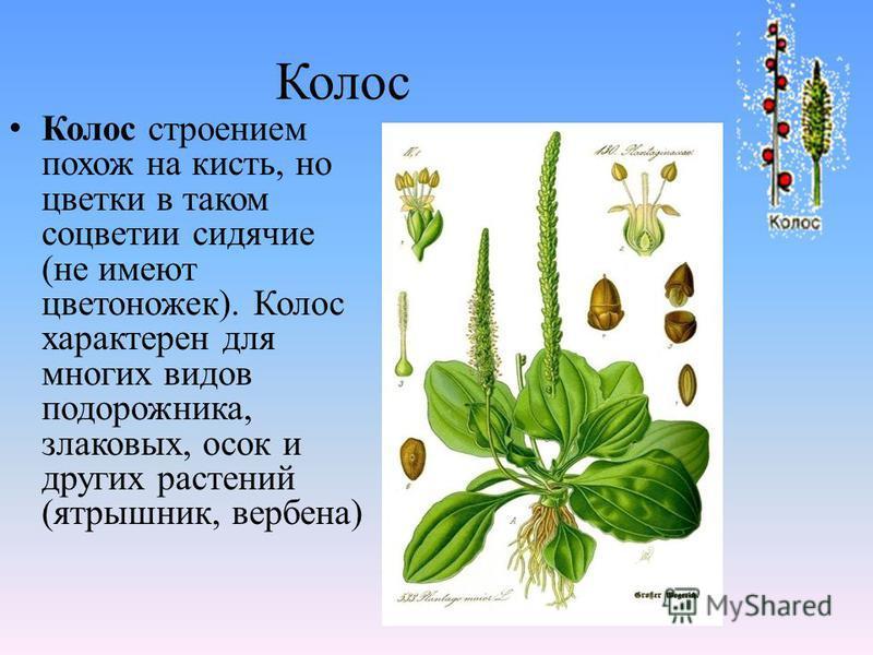 Колос Колос строением похож на кисть, но цветки в таком соцветии сидячие (не имеют цветоножек). Колос характерен для многих видов подорожника, злаковых, осок и других растений (ятрышник, вербена)