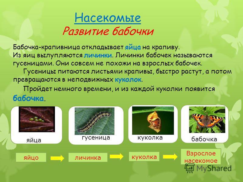Бабочка-крапивница откладывает яйца на крапиву. Из яиц вылупляются личинки. Личинки бабочек называются гусеницами. Они совсем не похожи на взрослых бабочек. Гусеницы питаются листьями крапивы, быстро растут, а потом превращаются в неподвижных куколок