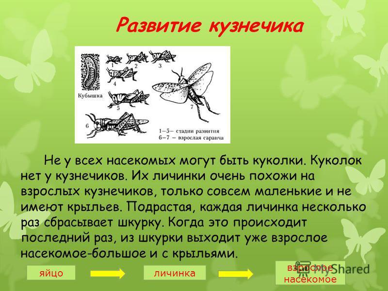 Развитие кузнечика Не у всех насекомых могут быть куколки. Куколок нет у кузнечиков. Их личинки очень похожи на взрослых кузнечиков, только совсем маленькие и не имеют крыльев. Подрастая, каждая личинка несколько раз сбрасывает шкурку. Когда это прои