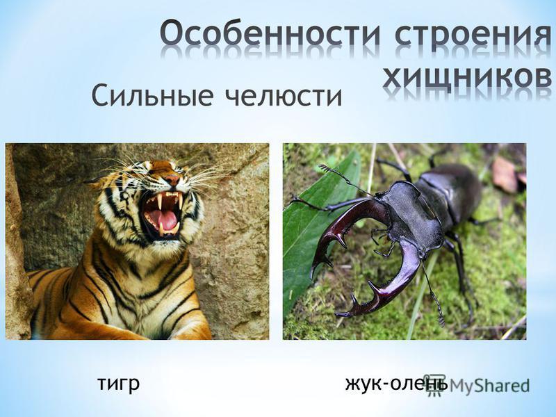 Сильные челюсти жук-олень тигр