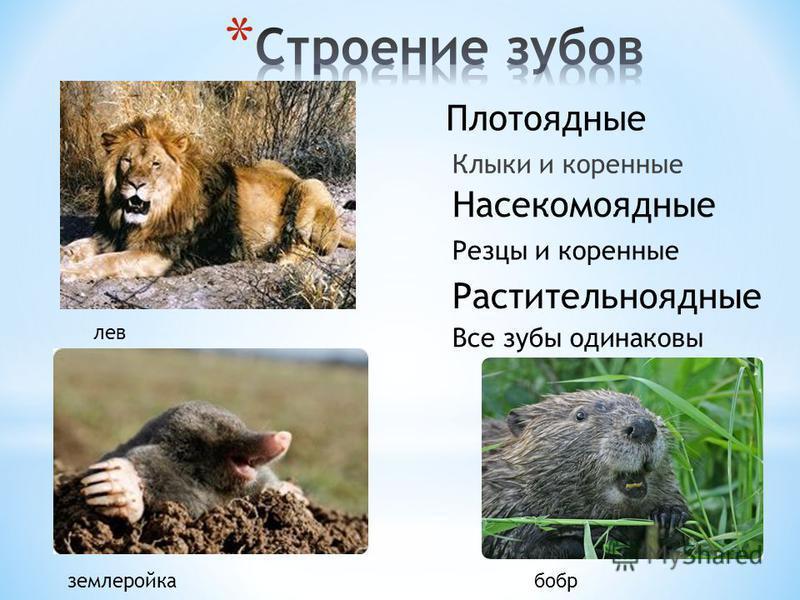Клыки и коренные Резцы и коренные Все зубы одинаковы Плотоядные Растительноядные Насекомоядные землеройка бобр лев