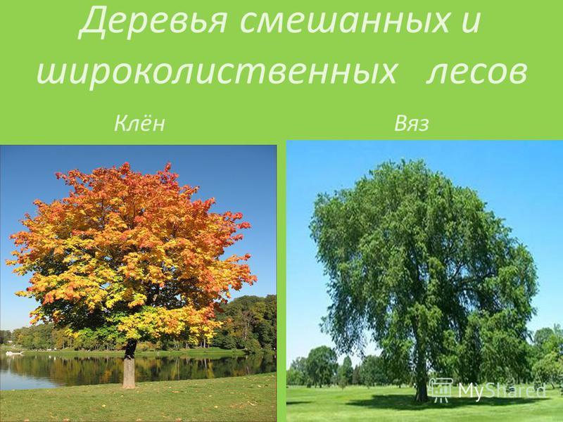 Деревья смешанных и широколиственных лесов Клён Вяз