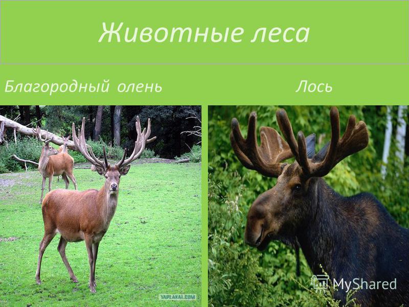 Животные леса Благородный олень Лось