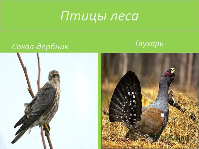 Птицы леса Сокол-дербник Глухарь