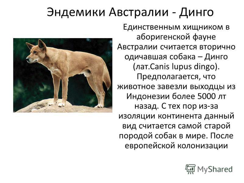 Эндемики Австралии - Динго Единственным хищником в аборигенской фауне Австралии считается вторично одичавшая собака – Динго (лат.Canis lupus dingo). Предполагается, что животное завезли выходцы из Индонезии более 5000 лет назад. С тех пор из-за изоля