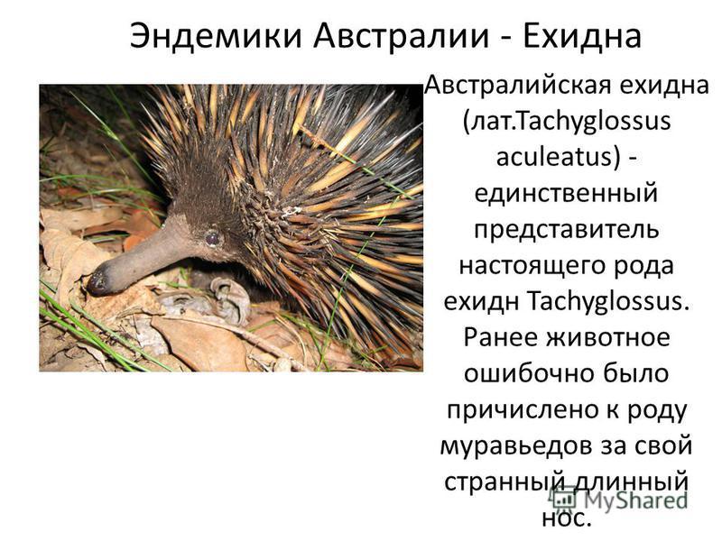 Эндемики Австралии - Ехидна Австралийская ехидна (лат.Tachyglossus aculeatus) - единственный представитель настоящего рода ехидн Tachyglossus. Ранее животное ошибочно было причислено к роду муравьедов за свой странный длинный нос.