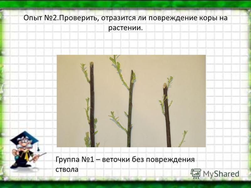 Опыт 2.Проверить, отразится ли повреждение коры на растении. Группа 1 – веточки без повреждения ствола