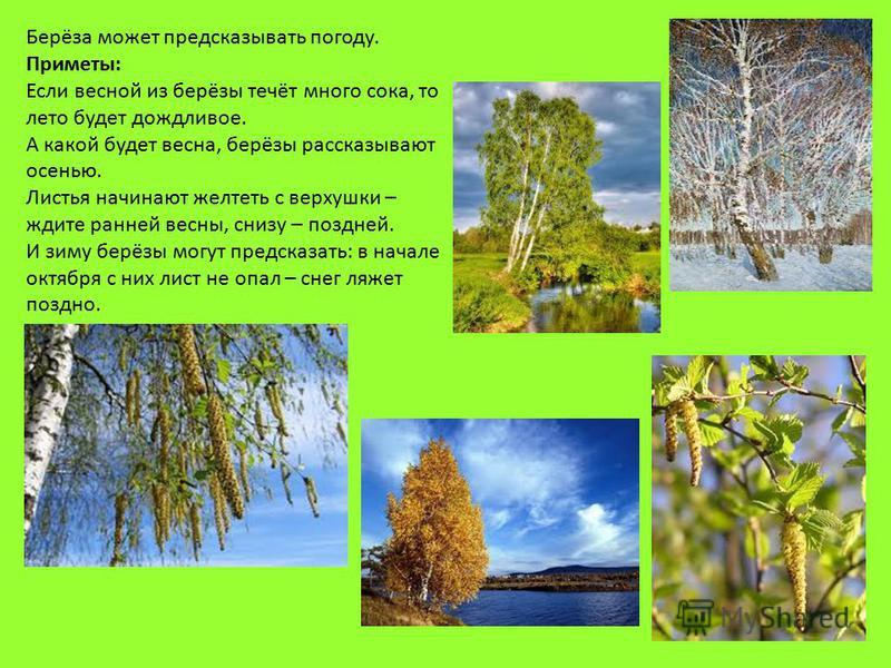 Берёза может предсказывать погоду. Приметы: Если весной из берёзы течёт много сока, то лето будет дождливое. А какой будет весна, берёзы рассказывают осенью. Листья начинают желтеть с верхушки – ждите ранней весны, снизу – поздней. И зиму берёзы могу