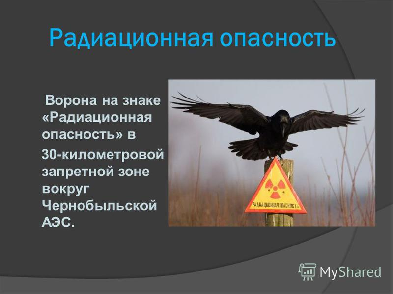 Радиационная опасность Ворона на знаке «Радиационная опасность» в 30-километровой запретной зоне вокруг Чернобыльской АЭС.