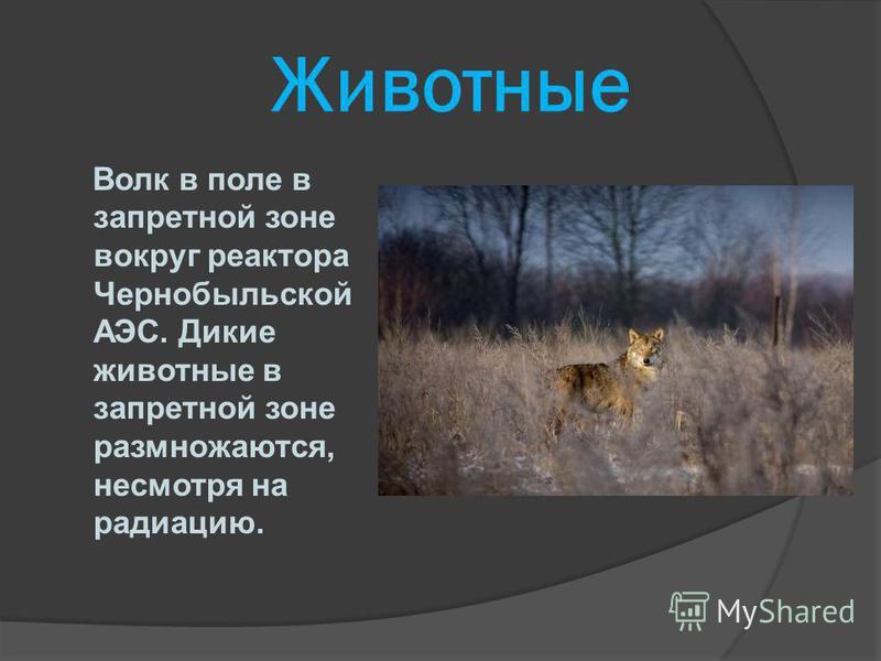 Животные Волк в поле в запретной зоне вокруг реактора Чернобыльской АЭС. Дикие животные в запретной зоне размножаются, несмотря на радиацию.