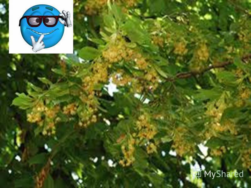 Весёлая переменка Посчитай фрукты Росло четыре липы. На каждой по четыре больших ветки. На каждой большой ветке по четыре маленьких ветки. На каждой маленькой ветке по четыре груши. Сколько на деревьях выросло плодов? Ответ: На липах не растут груши!