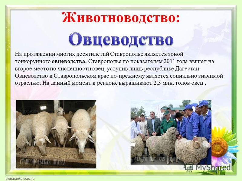 Животноводетство: На протяжении многих десятилетий Ставрополье является зоной тонкорунного овцеводства. Ставрополье по показателям 2011 года вышел на второе место по численности овец, уступив лишь республике Дагестан. Овцеводетство в Ставропольском к
