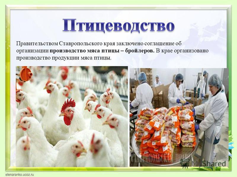 Правительством Ставропольского края заключено соглашение об организации производетство мяса птицы – бройлеров. В крае организовано производетство продукции мяса птицы.