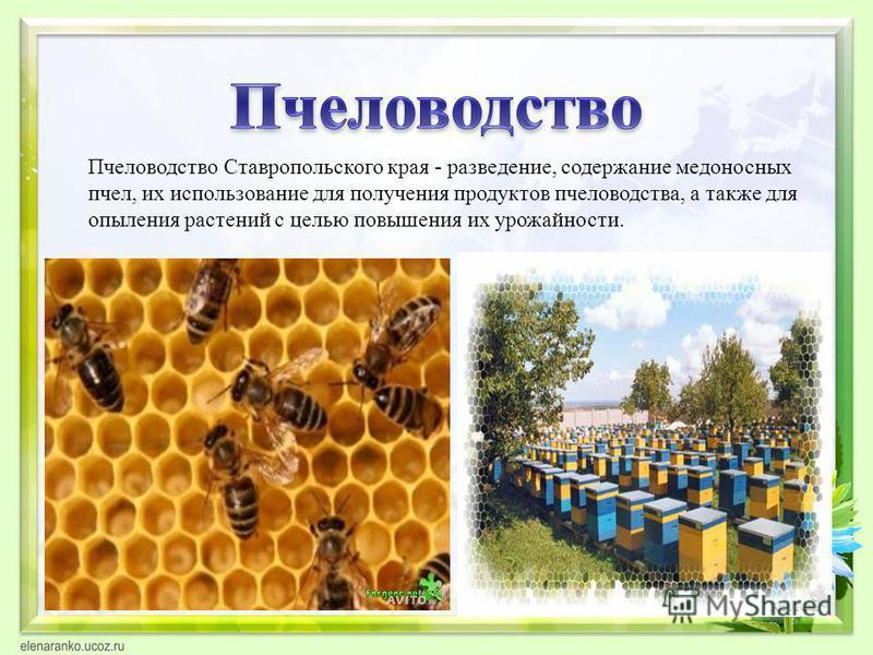 Пчеловодетство Ставропольского края - разведение, содержание медоносных пчел, их использование для получения продуктов пчеловодства, а также для опыления растений с целью повышения их урожайности.