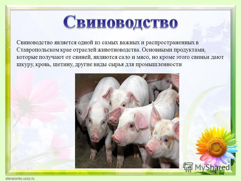 Свиноводетство является одной из самых важных и распространенных в Ставропольском крае отраслей животноводства. Основными продуктами, которые получают от свиней, являются сало и мясо, но кроме этого свиньи дают шкуру, кровь, щетину, другие виды сырья