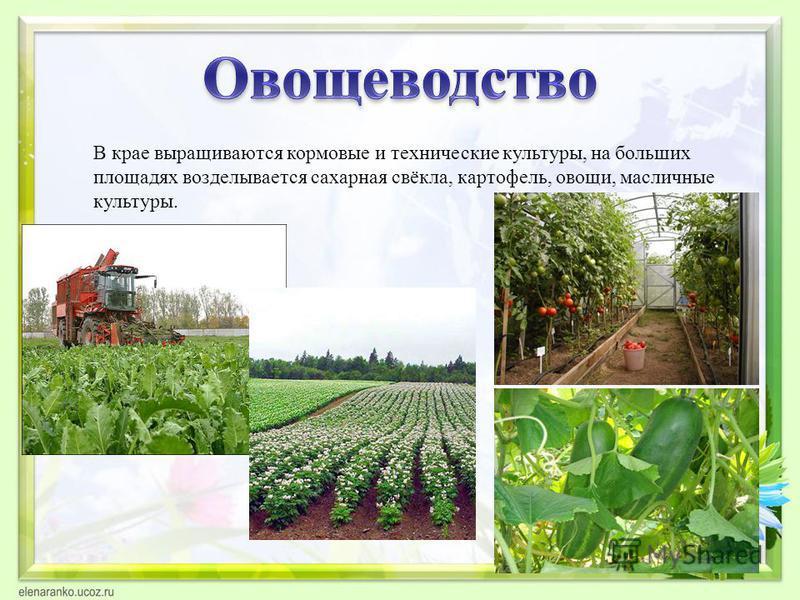 В крае выращиваются кормовые и технические культуры, на больших площадях возделывается сахарная свёкла, картофель, овощи, масличные культуры.