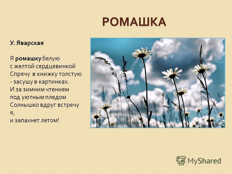 РОМАШКА У. Яварская Я ромашку белую с желтой сердцевинкой Спрячу в книжку толстую - засушу в картинках. И за зимним чтением под уютным пледом Солнышко вдруг встречу я, и запахнет летом !