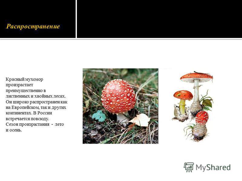 Распространение Красный мухомор произрастает преимущественно в лиственных и хвойных лесах. Он широко распространен как на Европейском, так и других континентах. В России встречается повсюду. Сезон произрастания - лето и осень.